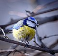 Blue tit (25682010782).jpg