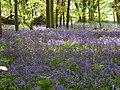 Bluebell woods near East Ashling - geograph.org.uk - 416941.jpg