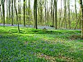 Bluebells at Bottom Wood - geograph.org.uk - 1141966.jpg