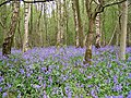 Bluebells near the edge of Micheldever Wood - geograph.org.uk - 165497.jpg