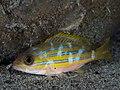 Bluestripe snapper night coloration (Lutjanus kasmira) (43709448502).jpg