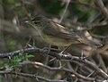 Blyth's Reed Warbler (Acrocephalus dumetorum) W IMG 6746.jpg