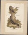 Boa viperina - 1801 - Print - Iconographia Zoologica - Special Collections University of Amsterdam - UBA01 IZ11700177.tif