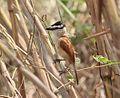 Bocagia minuta subsp remotus, Caia, Birding Weto, a.jpg