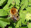 Bombus pascuorum - Flickr - gailhampshire (3).jpg