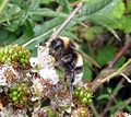 Bombus sp. (probably lucorum) - Flickr - gailhampshire (2).jpg
