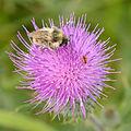 Bombus sylvarum - Cirsium vulgare - Keila1.jpg