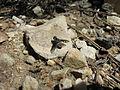 Bombyliidae Uniondale 1121.jpg