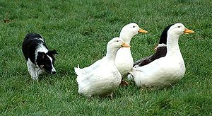 Herding dog - A 9-week-old Border Collie working ducks.