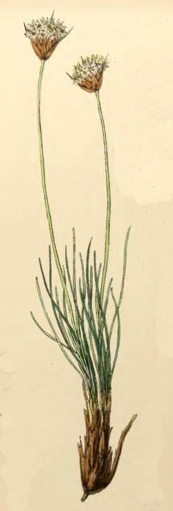 Borya scirpoidea.png