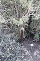 Botanic garden Juniperus phoenicea ערער אדום.JPG