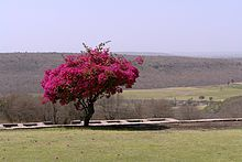 Bougainvillea, Sanchi, MP, India.jpg
