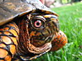 Box Turtle Closeup (155024495).jpg