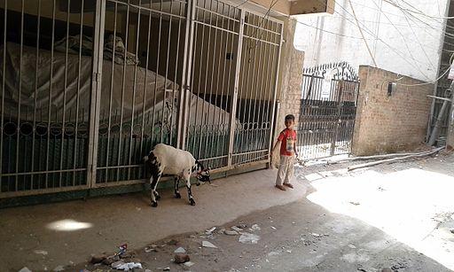 Boy caring goat Delhi