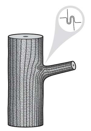 Branch attachment - Figure 1: Anatomical drawing of the wood grain of a branch attachment in a tree