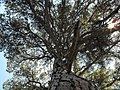 Branchs of the grandfather pine - Cuenca - Spain - panoramio.jpg