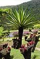 Bromeliaceae--Martinique.we.jpg