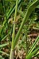 Bromus hordeaceus 125098548.jpg