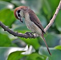 Brown Shrike (Lanius cristatus)- Immature in Kolkata I IMG 2761.jpg