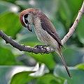 Brown Shrike (Lanius cristatus)- Immature in Kolkata I IMG 2761.jpg