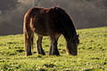 Brown fell pony chewing grass.jpg