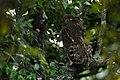 Brown fish owl in BR hills.jpg