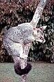 Brushtail-possum-in-Brisbane.jpg