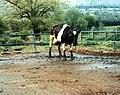 Bse-cattle-250.jpg