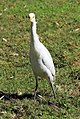 Bubulcus ibis R04.jpg