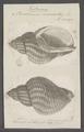 Buccinum undatum - - Print - Iconographia Zoologica - Special Collections University of Amsterdam - UBAINV0274 085 08 0002.tif