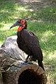 Bucorvus leadbeateri -Lincoln Park Zoo-8a.jpg