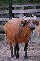 Bufalo at Berlin zoo (2483393448).jpg