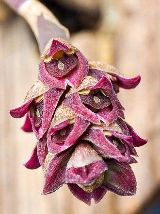 Bulbophyllum aggregatum - Image: Bulbophyllum aggregatum (34241589850)