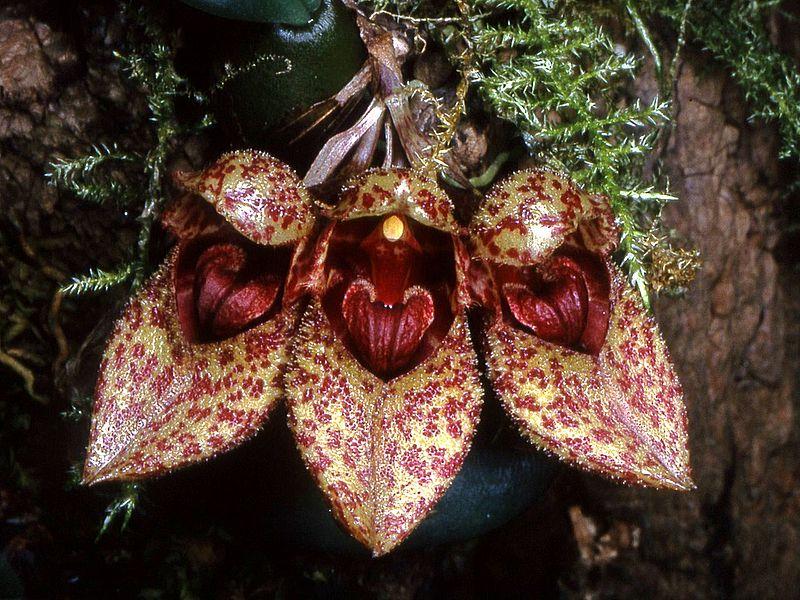 File:Bulbophyllum frostii Orchi 21.jpg