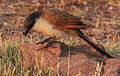 Burchell's Coucal, Centropus burchelli at Borakalalo National Park, South Africa (9868740115).jpg