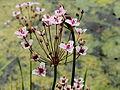 Butomus umbellatus-IMG 4699.jpg