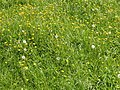 Buttercups, and dandelion seed heads - geograph.org.uk - 442556.jpg