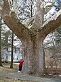 Buttonball Sycamore in Sunderland, MA (March 2019).jpg