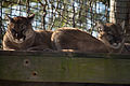 Buttonwood Park Zoo Cougars.jpg