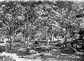 COLLECTIE TROPENMUSEUM Het aftappen van Hevea brasiliensis rubberbomen op de onderneming Penandjoeng en Mandalareh bij Bandjar TMnr 10024154.jpg