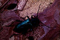CSIRO ScienceImage 1134 A Longicorn Beetle.jpg