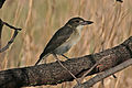 CSIRO ScienceImage 2569 Grey Butcherbird Braeside Victoria.jpg