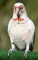 Cacatua tenuirostris -Australia-8.jpg
