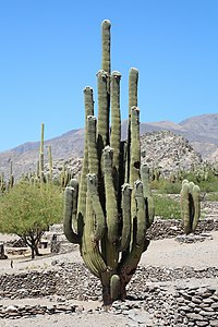 Cactus in Ruins of Quilmes.jpg