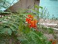 Caesalpinia pulcherrima 0004.jpg