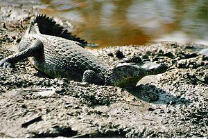 Caiman (genus) - Yacare caiman, Caiman yacare