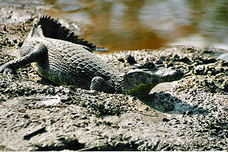 Caiman subfamily of reptiles; any of several species of Central and South American reptiles that are related to alligators and are usually placed with them in the family Alligatoridae