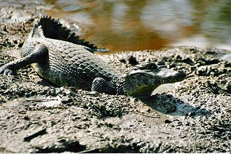 Caiman - Yacare caiman, Caiman yacare