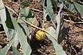 Calabaza (wild gourd) Cucurbita foetidissima in Embudo Canyon (7897313046).jpg