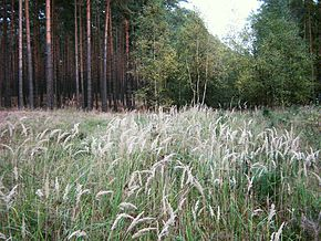 alt=Description de l'image Calamagrostis-epigejos-02.jpg.